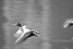ducks-1443732-m