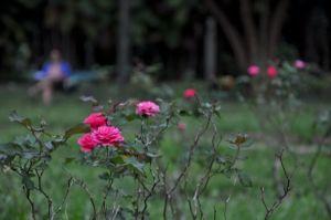 roses-1443205-m