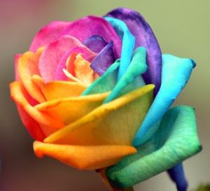 coloured-rose-1446326-m