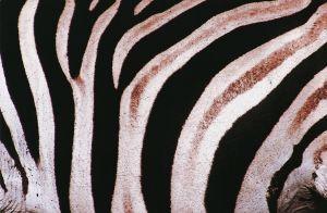 zebra-112926-m